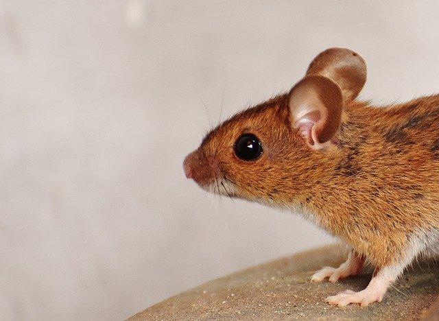 מה חשוב לדעת על הדברת עכברים